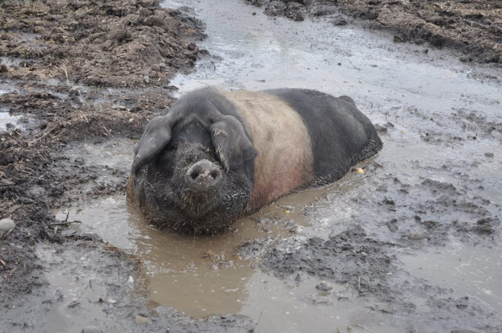 Wallowing in the Mud - and Liking It